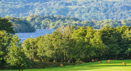 view of Lake Killarney and the Killarney National Park  with herd of Red Deer grazing on meadow