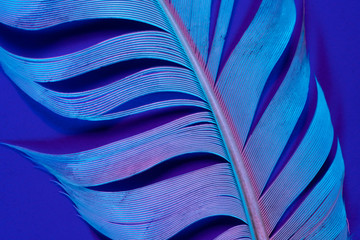 Bird feather in violet illumination