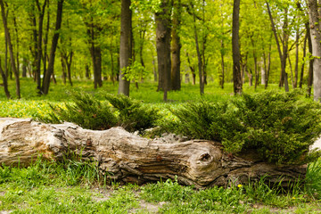 Fallen tree in forest on the green background