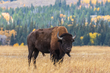 Tuinposter Buffel American Bison bull in Autumn