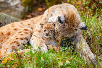 Fotorolgordijn Lynx Caring lynx mother and her cute young cub in the grass