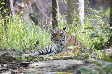 A dominant tigress looking head on near a waterhole inside Pench tiger reserve