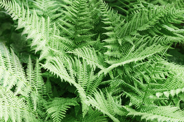 Natural abstract background of fern leaves. Forest herb. Vascular plants.