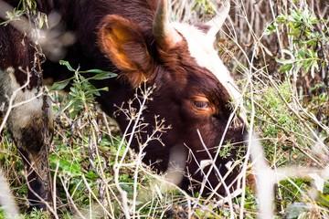 grass, field, flora, cows, animals, fauna, eat, beautiful, production, milk, prey, brown, tasty, healthy, natural, village, terrain, pasture, barn, barn, industry, young, farm, calf, bull, rock, hoove