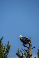 A bald eagle perched on a top of the tree inside nelson lake