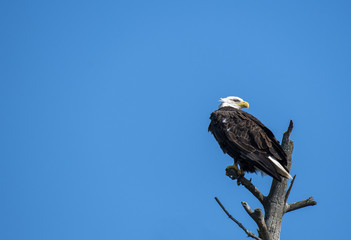 A bald eagle perched on a tree top close to Nelson lake in Hayward, WI