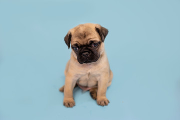 Cute pug puppy sitting on a blue background