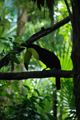toucan - bird on a branch in mexico