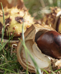Chestnuts (Aesculus Hippocastanum) lying between grass at an autumn and sunny day