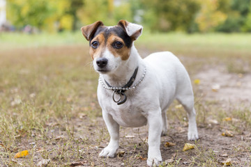 Jack russell terrier stands on grass in a park in autumn