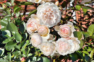 Delicate fragrant pink English roses on bush in the garden close up. Growing garden roses in the open ground - decorative element of landscape design