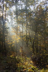 Morning freshness in a beautiful autumn face, a ray of sunshine passes through the branches of redays at dawn