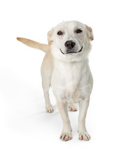 Funny Smiling Dog on White