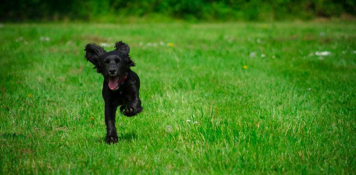 Black Cocker Spaniel puppy running in the park