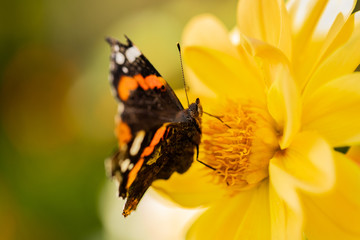 Beautiful Painted Butterfly On Petals Flower Of Dahlia In Sunny Day In Summer Garden.