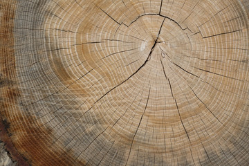 Growth Rings of an Oak Tree