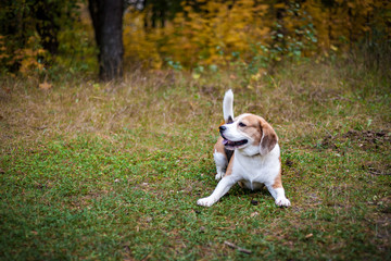 Hound Beagle on a walk in the autumn Park