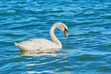 Swan on the Sea