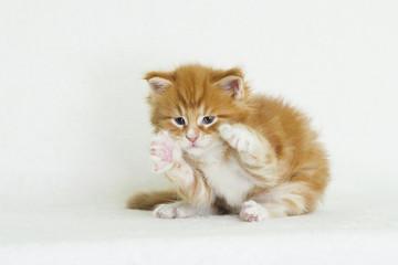 Maine Coon Ginger Tabby Kitten