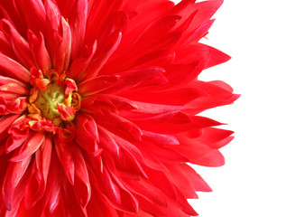 Beautiful red dahlia flower on white background, closeup