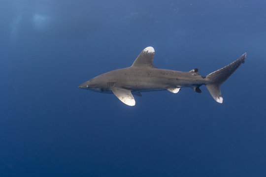Oceanic Whitetip shark in the Red Sea at Elphinstone