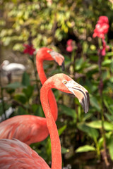 Caribbean flamingo Phoenicopterus ruber in a tropical garden