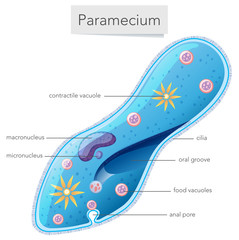 Paramecium bacteria science diagram