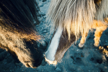 horse at iceland