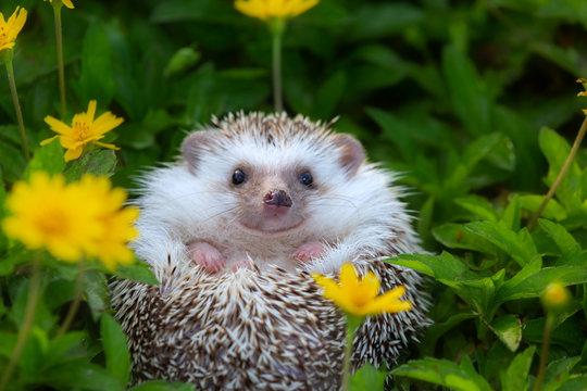 Hedgehog cute animal in the flower garden.