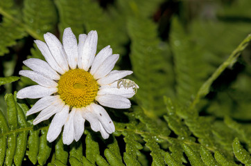 Dainty white crab spider hunting on a daisy