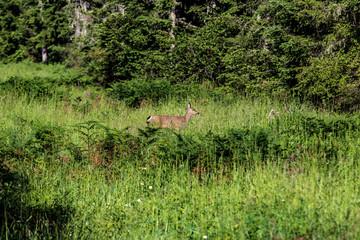 Doe deer in a grassy clearing