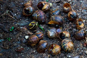 Empty snail shells on dirt in a garden