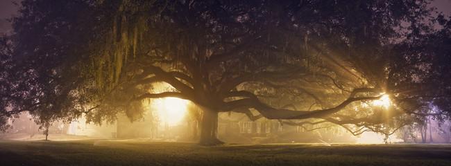 Huge Live Oak Tree in Savannah Georgia Fotoväggar
