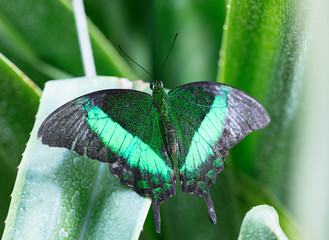 Lowi butterfly on the green leaf.