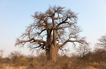 Poster Baobab Large baobab tree in Botswana