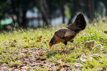 Hen with baby chickens chicks standing/hidding together on a farm