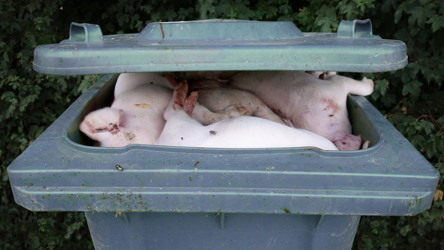 Piglets thrown out by Pig Industry