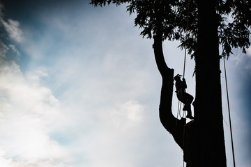 treeclimber above tree to perform pruning and felling arboriculture