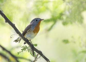 Red breasted flycatcher