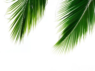 double palm leaves isolated on white