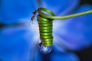 formica che si muove su rametto a spirale di pianta rampicante con goccia d'acqua che riflette immagine del fiore di pervinca blu
