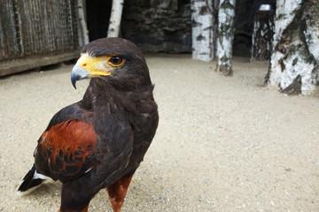 Predatory bird in the aviary