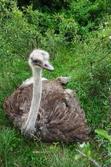 A wild emu living on a farm
