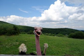 Resting ostrich in nature