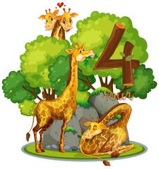 Four giraffe in nature