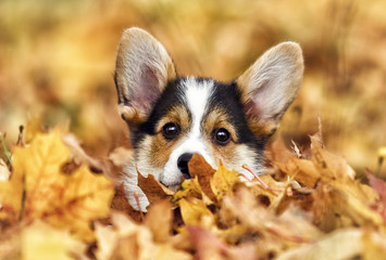 welsh corgi puppy in autumn leaves Wall mural