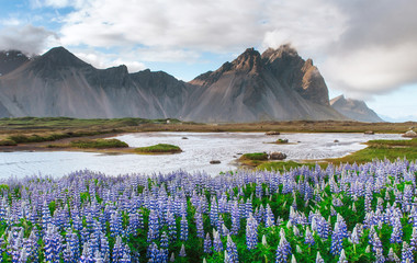 The picturesque landscapes of forests and mountains of Iceland. Wild blue lupine blooming in in summer