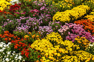 colorful chrysanthemum background