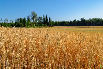 Ripe ears of oat and oat field last days before harvesting.
