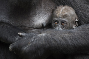 Gorilla baby hiding in mother's arms